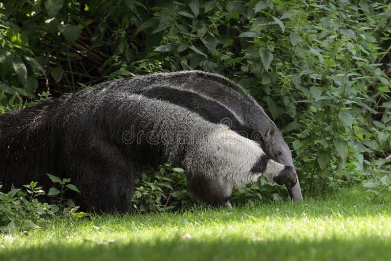 гигант anteater стоковые изображения rf