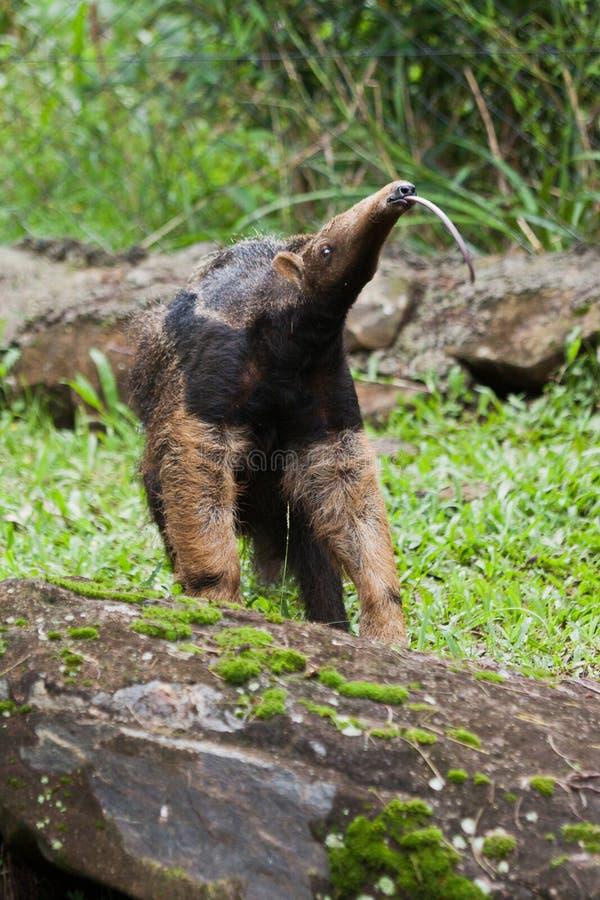 гигант anteater стоковая фотография