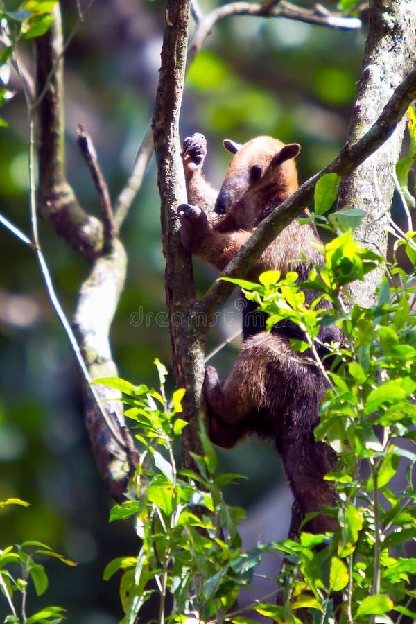 гигант anteater стоковые фотографии rf