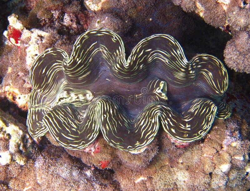 гигант clam стоковые изображения rf