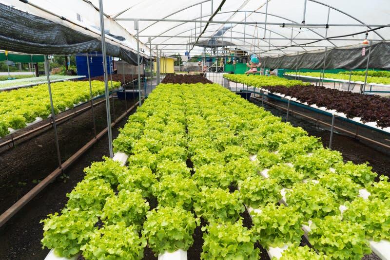 Гидропоника в ферме hydroponic органический овощ стоковая фотография rf