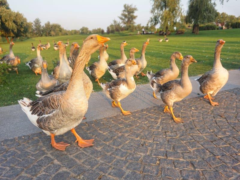 Гизская птица ходит по лужайке стоковое фото rf