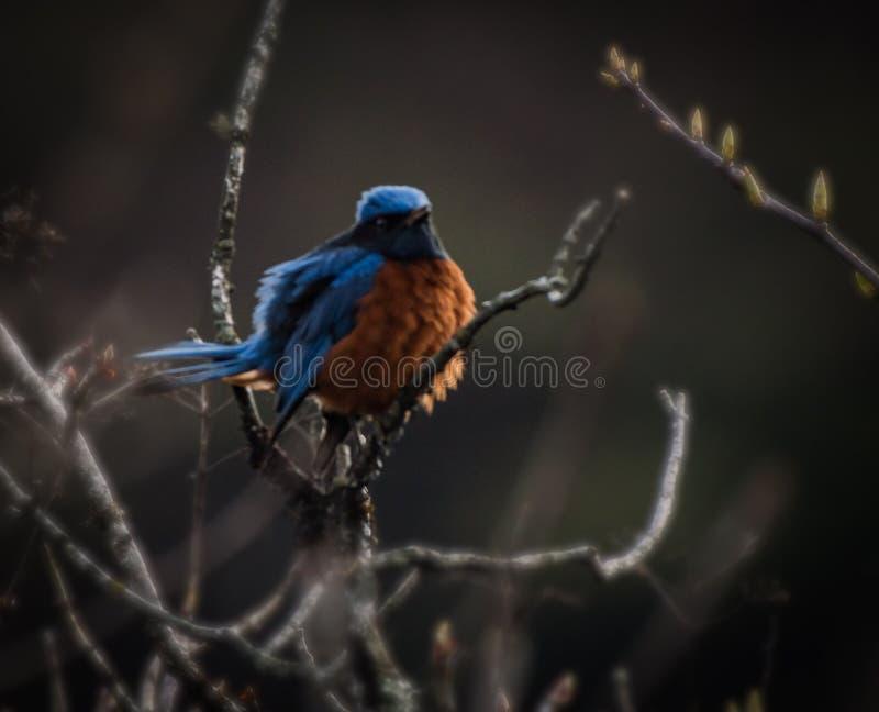 Гималайская голубая птица стоковые фотографии rf