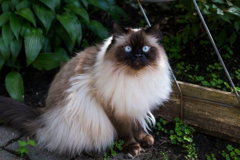 Гималайский кот сидя в саде стоковое фото