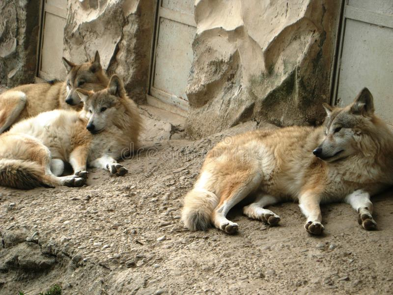 Гималайские волки стоковые изображения
