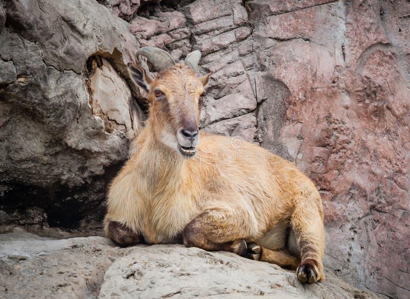 Download Гималайское Tahr лежа на утесе жуя жвачку Стоковое Изображение - изображение насчитывающей козочка, усаживание: 37929737