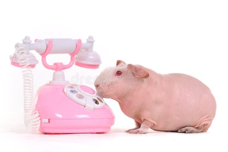гинея друзей звонока ее свинью хочет стоковые изображения rf
