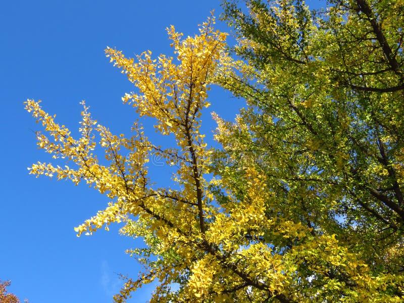 Гинкго бильоба ветки против ярко-голубого неба Зеленые и золотые желтые листья деревьев на фоне голубого неба стоковые изображения
