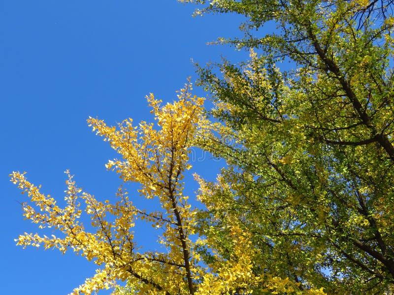 Гинкго бильоба ветки против ярко-голубого неба Зеленые и золотые желтые листья деревьев на фоне голубого неба стоковое изображение rf