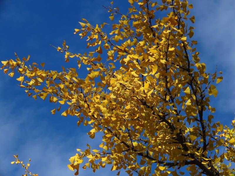 Гинкго бильоба ветки против ярко-голубого неба Золотое желтое дерево оставляет световые облака фоновым стоковые фото