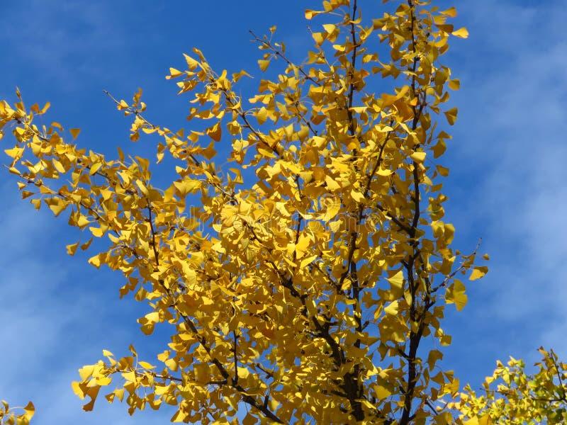 Гинкго бильоба ветки против ярко-голубого неба Золотое желтое дерево оставляет световые облака фоновым стоковое фото rf