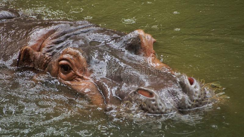Гиппопотам воды погруженный в воду в воде и ослаблять стоковое фото rf