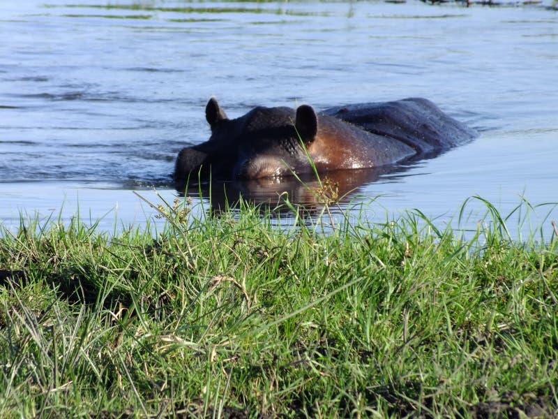 Гиппопотам wading Южная Африка стоковая фотография