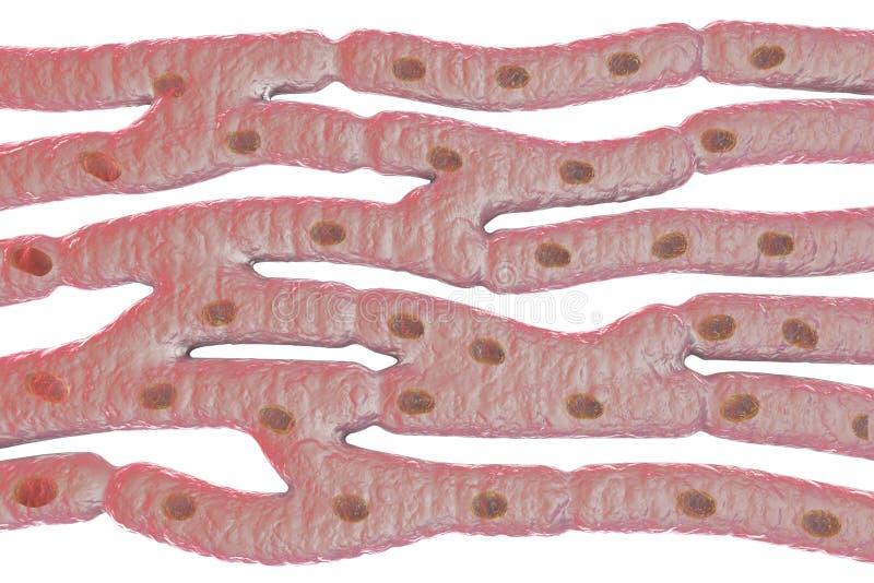 Гистологическая структура сердечной мышцы иллюстрация вектора