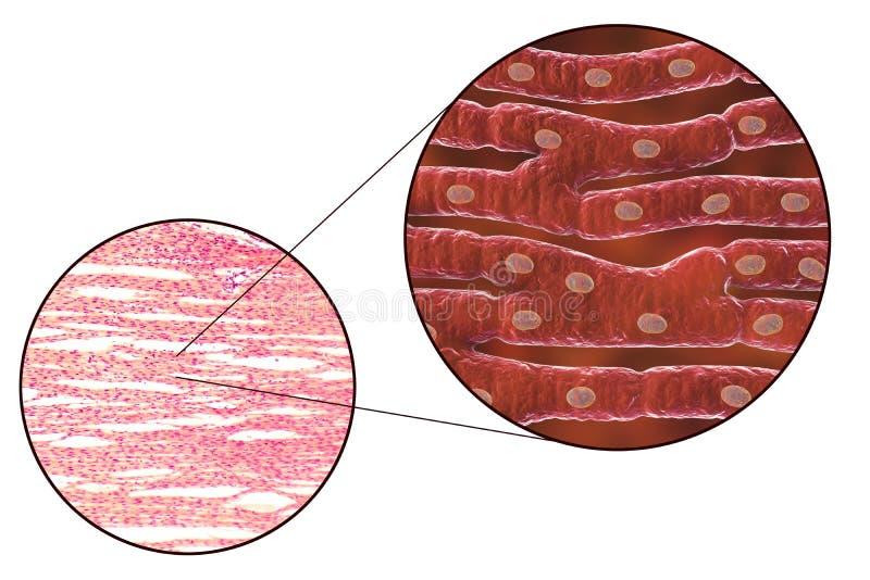 Гистологическая структура сердечной мышцы иллюстрация штока