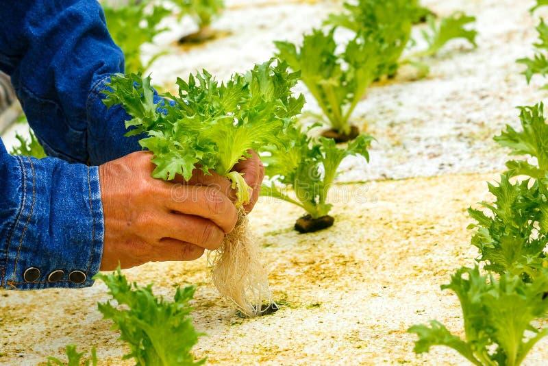 Гидропоника, органические свежие сжатые овощи стоковая фотография