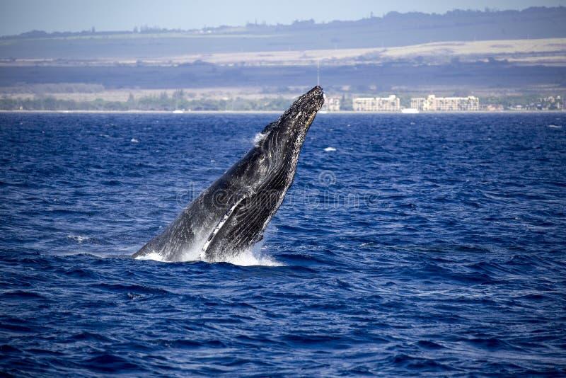 Главный горбатый кит стоковые фото