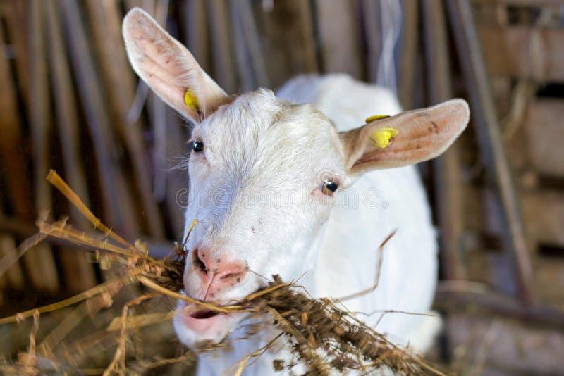 Главный портрет белой козы есть сено стоковая фотография rf