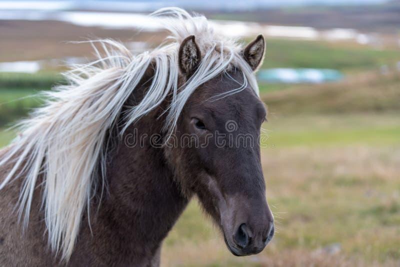 Главный портрет коричневой исландской лошади с белой гривой стоковые изображения