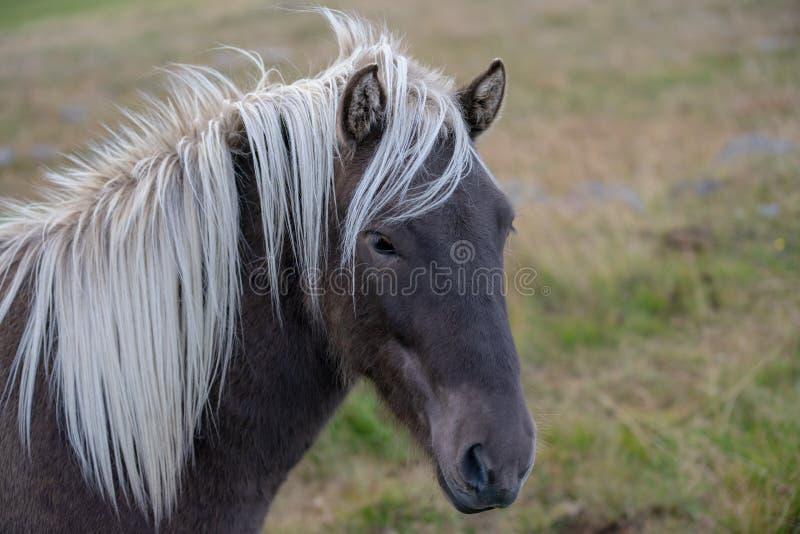 Главный портрет коричневой исландской лошади с белой гривой стоковые изображения rf