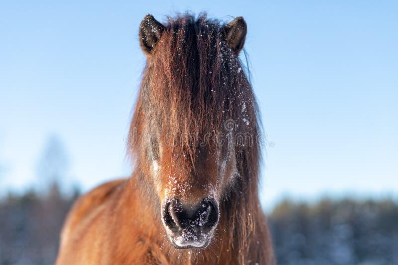 Главный портрет красивой исландской лошади в зиме стоковое фото