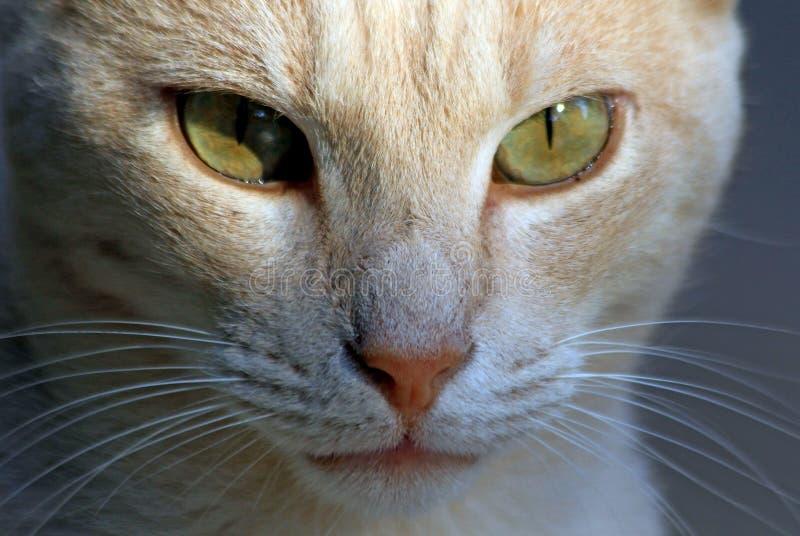 Глаза вискеров кота смотрят задумчивую зеленую тень носа стоковое изображение