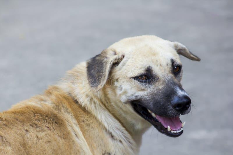 Глаза коричневой собаки смотрят стоковое фото