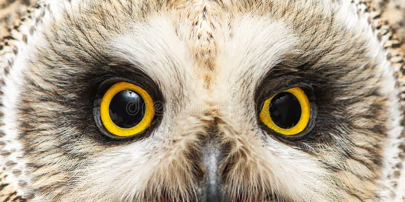 Глаза Коротк-ушастого сыча, flammeus Австралийской службы безопасности и разведки Конец-вверх стоковая фотография rf