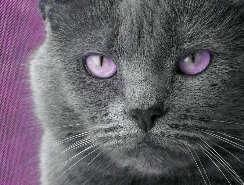 глаза кота пурпуровые стоковые изображения