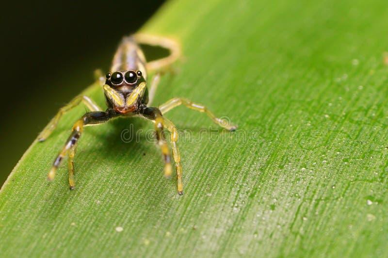 Глаза скача паука стоковые изображения rf
