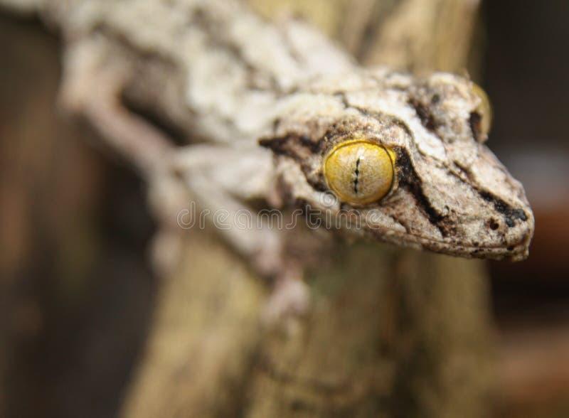 Глаз желтого цвета хамелеона стоковая фотография rf
