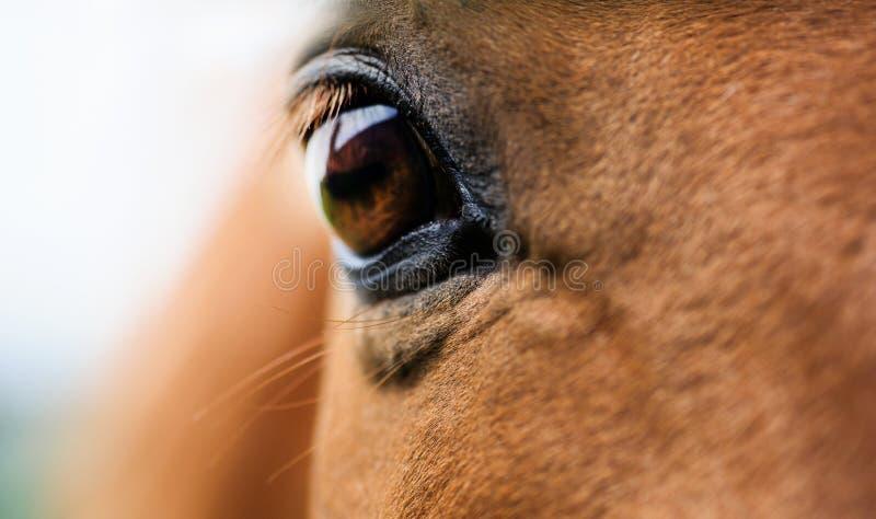 Глаз красного крупного плана лошади стоковое изображение rf