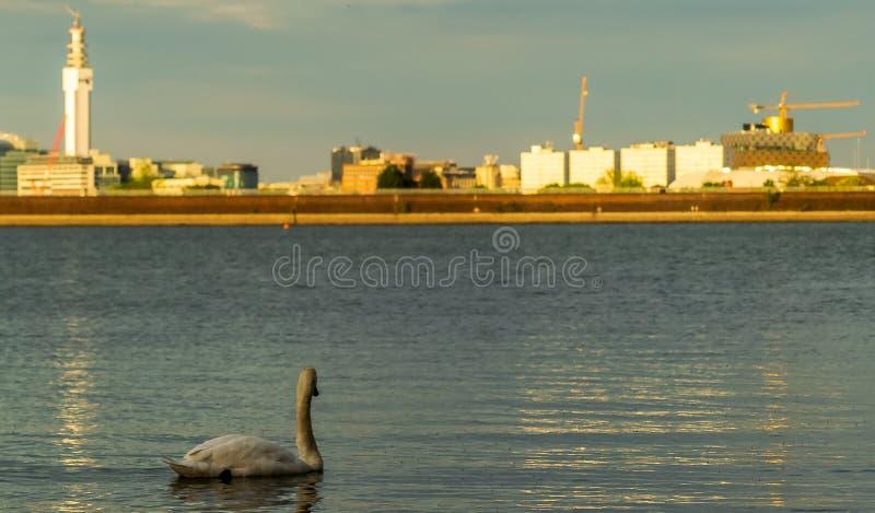 Глаз отливки лебедя к городу стоковая фотография