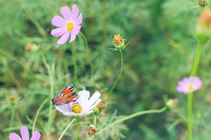 Глаз павлина бабочки на cosme цветка стоковое изображение
