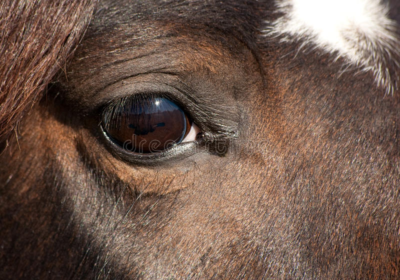 Глаз темной лошади Arabian залива стоковая фотография