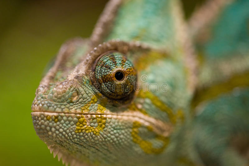 Глаз хамелеона стоковая фотография