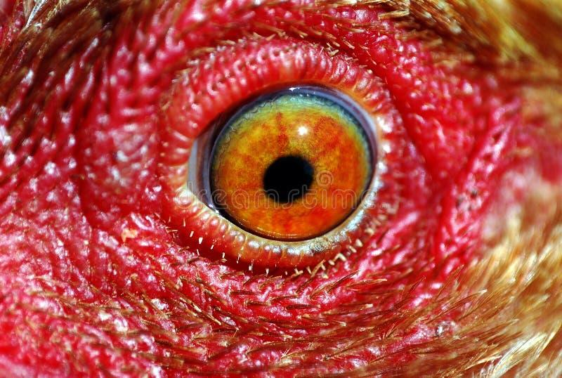 глаз цыпленка стоковые фотографии rf