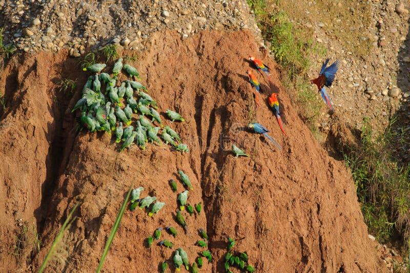 Глина лижет в национальном заповеднике Tambopata стоковые фото