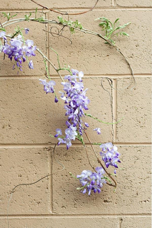 глицинии стены лозы стоковое изображение