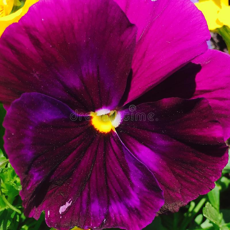 Глубокий фиолетовый Pansy стоковые фотографии rf