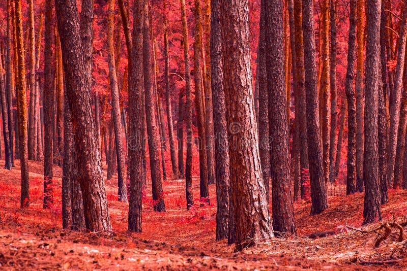 Глушь красного соснового леса загадочная никто вокруг стоковое фото rf