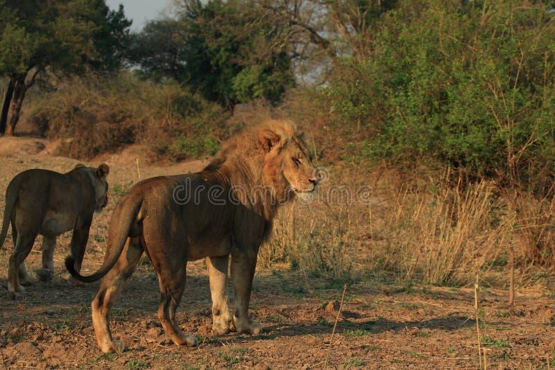 глушь львицы льва стоковые изображения