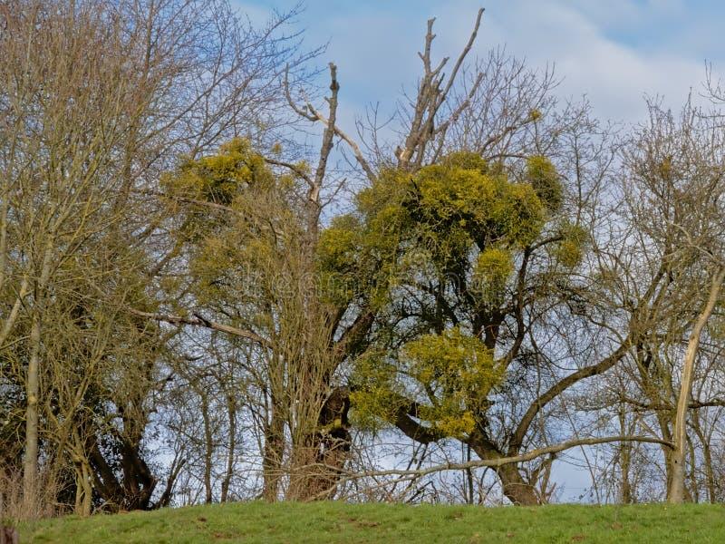 Глушь с сериями misteltoes - Santales дерева стоковая фотография
