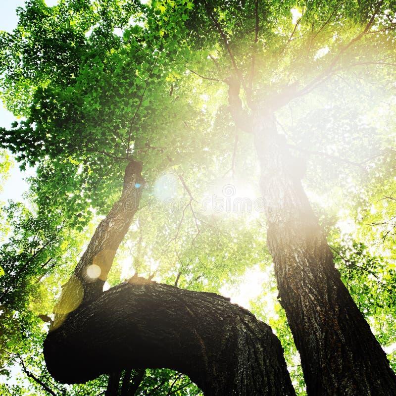 Глядя на деревья с солнечным светом на листья стоковая фотография