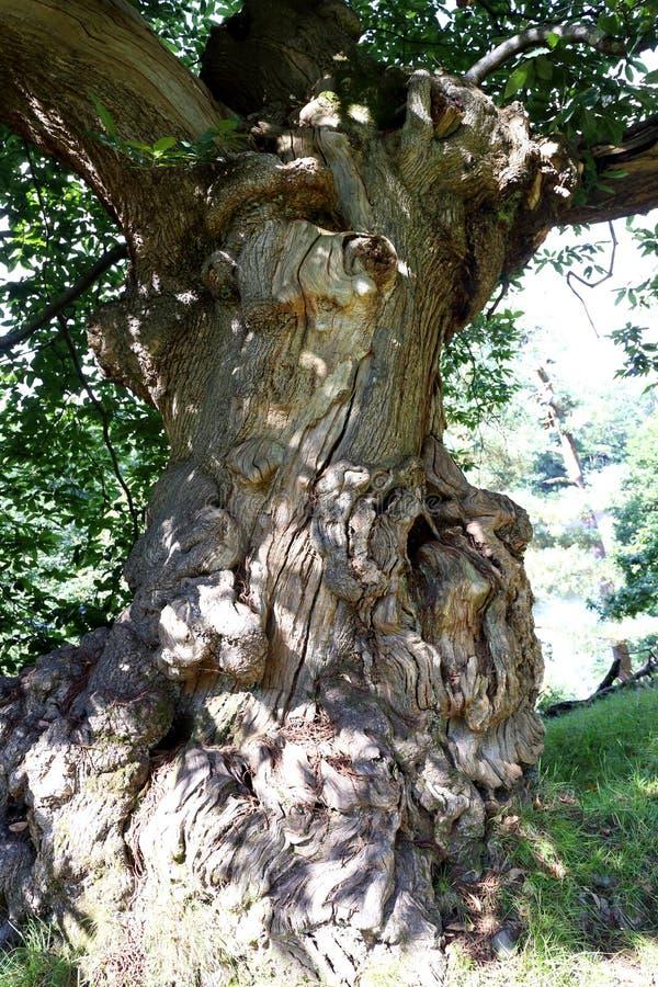 Гнарлед, Древнее дубовое дерево стоковая фотография