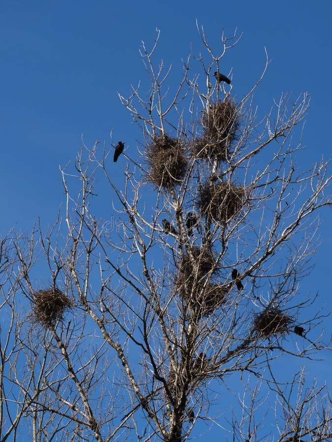 Гнезда вороны в дереве в городе стоковая фотография
