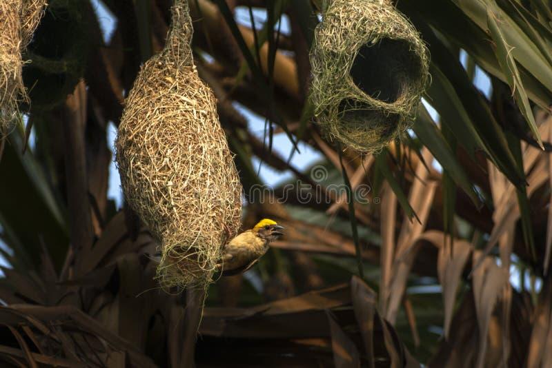 Гнезда колонии ткача baya приостанавливанной от пальмы, Индии стоковая фотография
