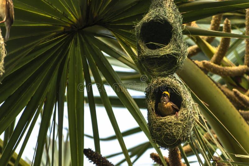 Гнезда колонии ткача baya приостанавливанной от пальмы, Индии стоковые изображения