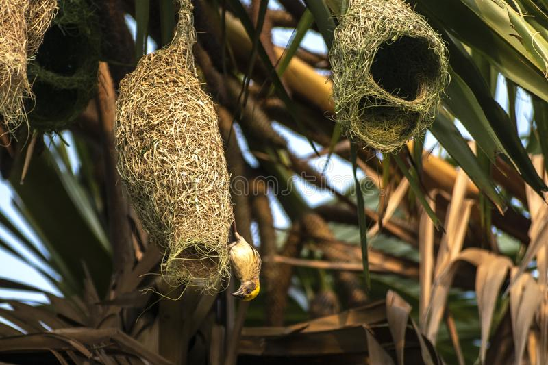 Гнезда колонии ткача baya приостанавливанной от пальмы, Индии стоковое фото