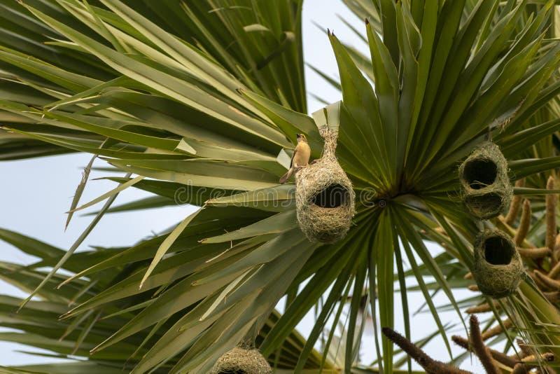 Гнезда колонии ткача baya приостанавливанной от пальмы, Индии стоковое изображение